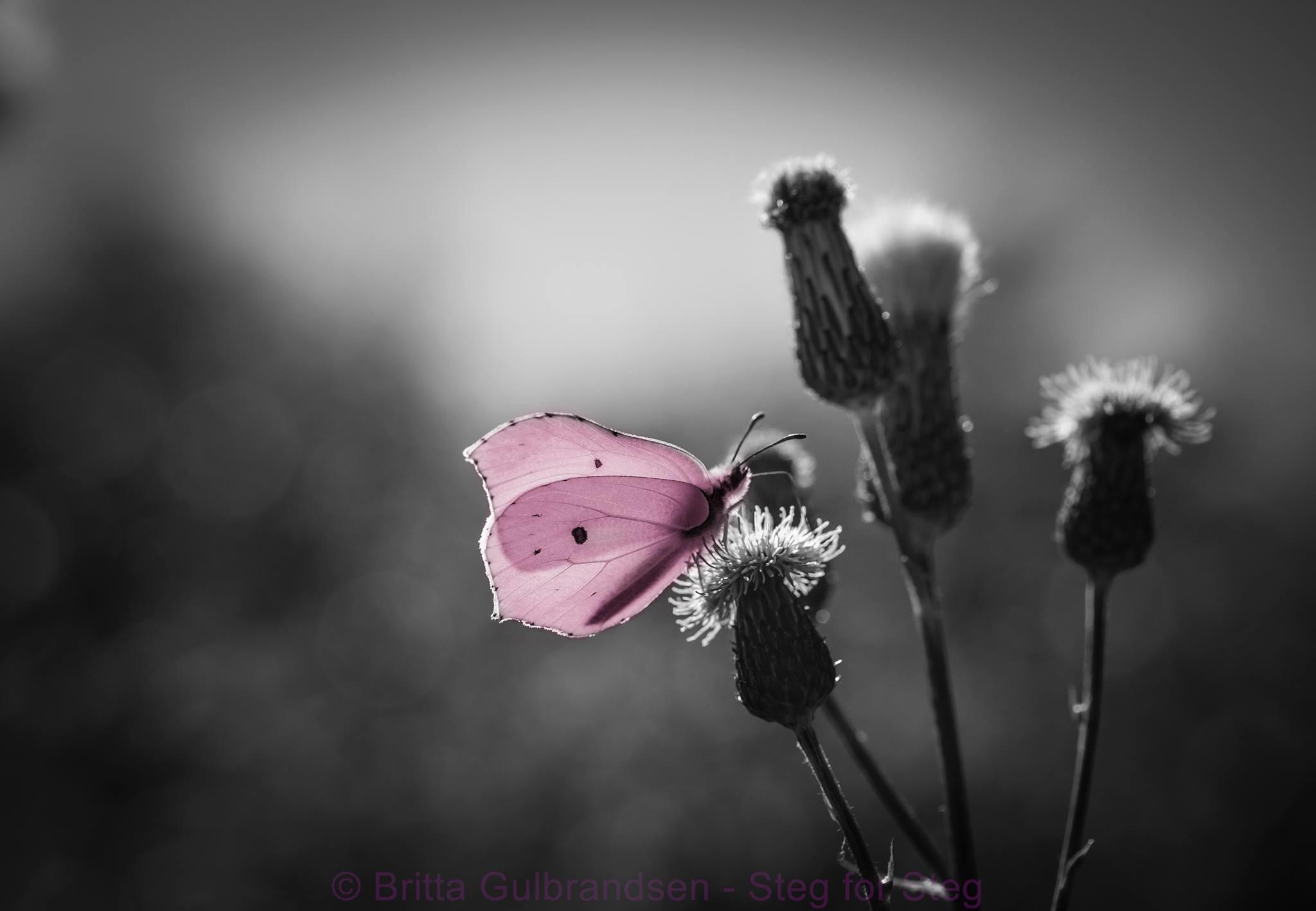 sommerfugl-copyright